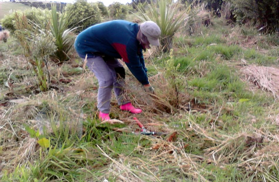 Maree Johnstone at work weeding around the Visitor Centre at Orokonui. Photo: A. Grant.