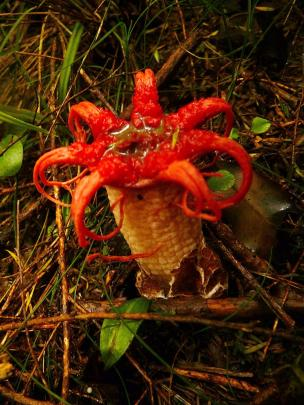 Aseroe rubra's pretty appearance belies its unappealing smell. Its common name ''stinkhorn'' fits...