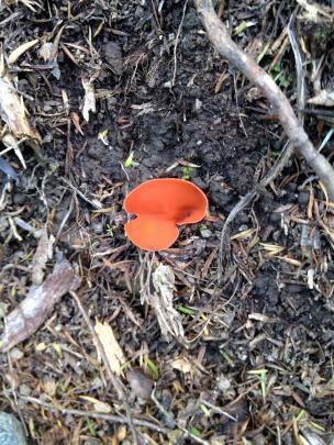 Orange-peel fungus. Photo: M. Johnstone.