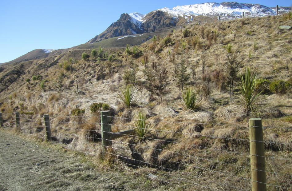 Native plantings near Highland Creek, Motatapu Valley. Photo: Guy Williams.