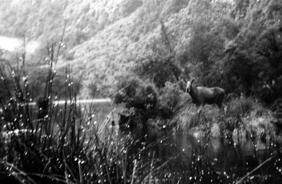 Moose at Hernick Creek, 1952.