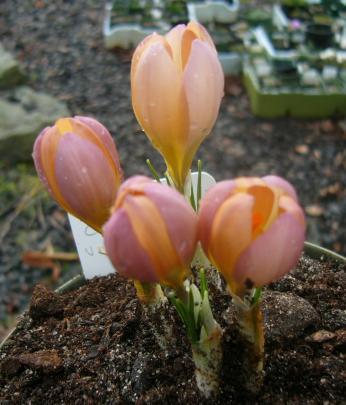 Crocus cvijicii x veluchensis, a hybrid which appeared in a batch of seed. PHOTO: SUPPLIED