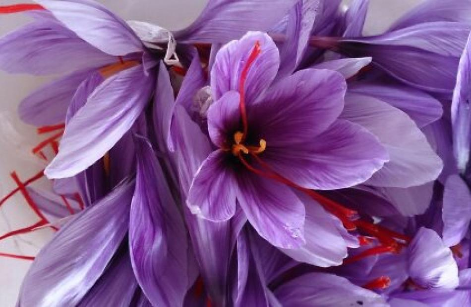 A  crocus  ready for processing.