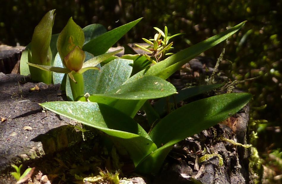 Green bird orchid. Photo: Rob Ballagh.