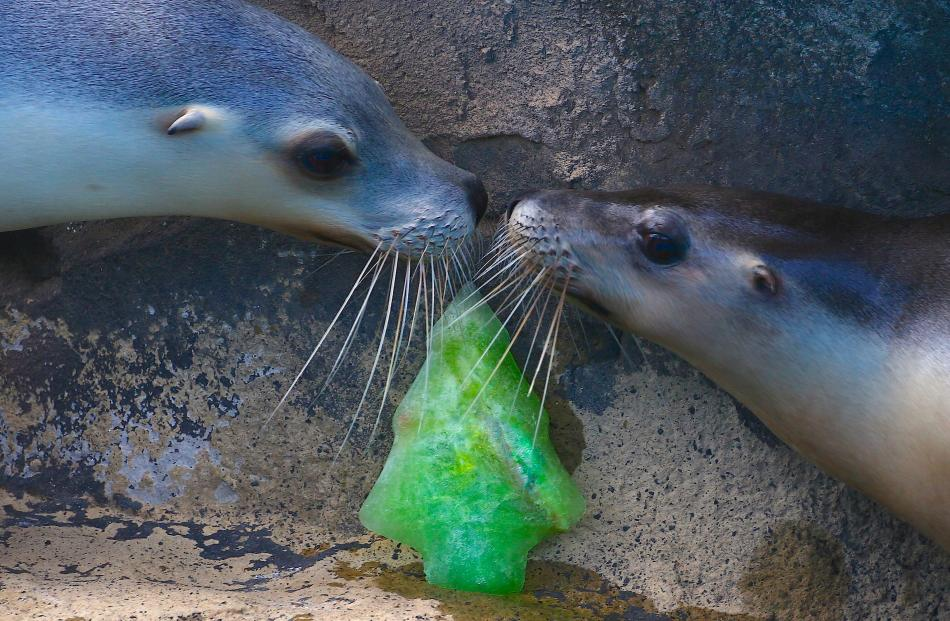 Sea lions inspect a frozen Christmas treat at Sydney's Taronga Zoo. Photo: Reuters