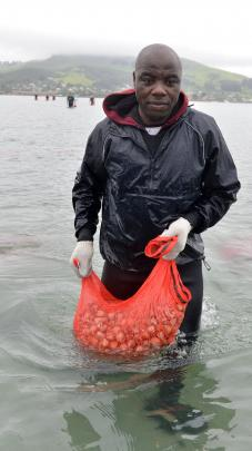 Southern Clams staff member Alain Njoh Njoh (above left) carries a sack of clams in Otago Harbour.
