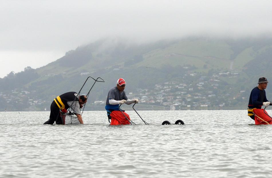 Southern Clams staff (from left) Colin McShain, Phil Tackney, harvest manager Tane Gray, Mike Aluesi, James Mathews and Arne Vanderburg harvest clams from Otago Harbour.