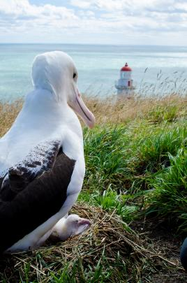Cool, wet and windy weather was perfect for the first northern royal albatross chick hatched at...