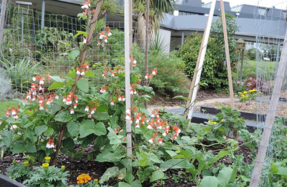 Beans flowering in one of the raised beds.