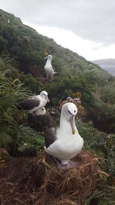 White-capped albatross with purple stock markers on their heads, on the Auckland Islands.