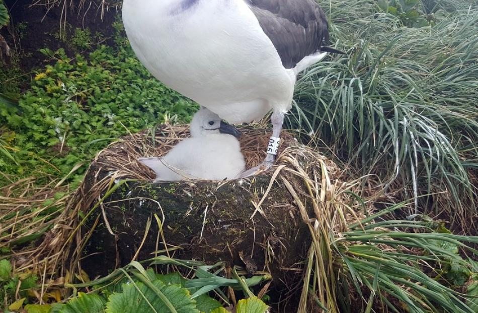 An adult banded white-capped albatross with a chick on the Auckland Islands.
