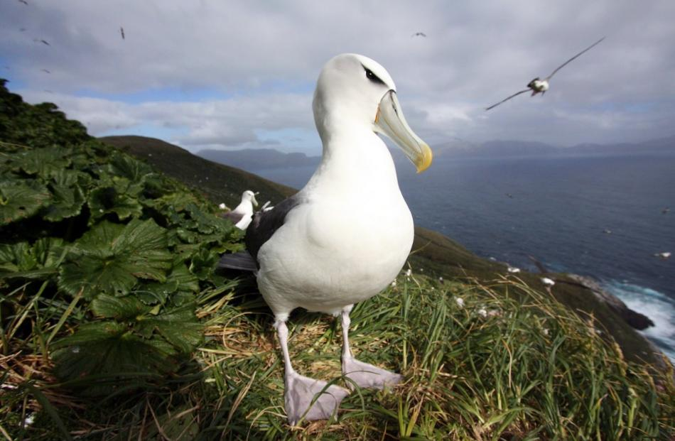 A white-capped albatross on the Auckland Islands. Photos supplied.