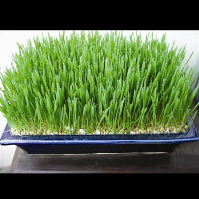 Although wheatgrass is described by Fionna Hill as a microgreen, it is usually used to make a juice.