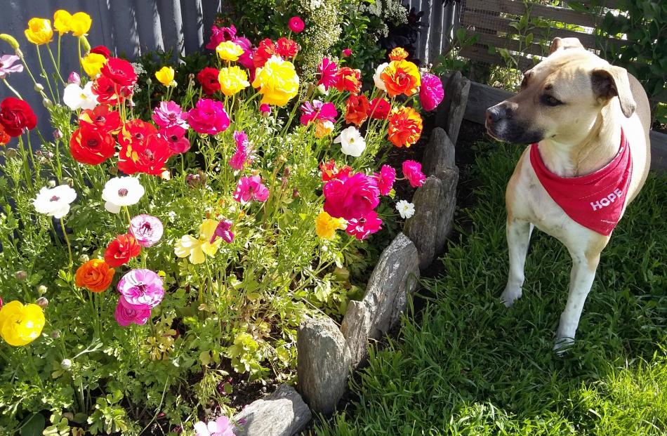 Louise Ind, of Green Island, says thanks to Pinterest (''the world's catalogue of ideas'') she has just  discovered ranunculus ''and they are gorgeous — My dog Holly likes them too!'