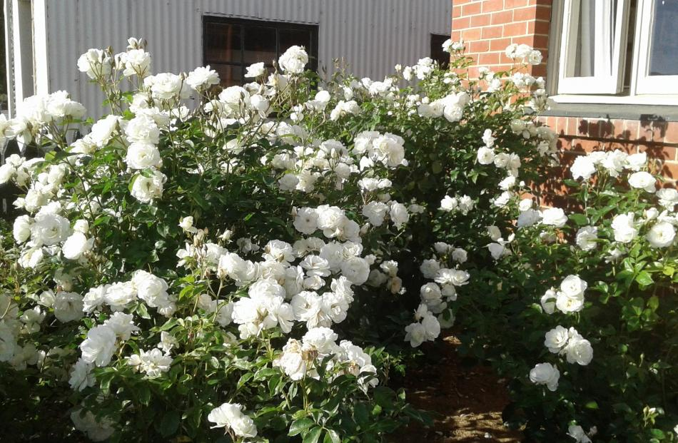 These ''Iceberg'' roses have been ''amazing'' this season for Pam and Earl Harrex at Lauder, Central Otago.  ''Lauder has domestic water but no extra water for gardening,  so roses have nature's rain — very limited where we live although a lot of rain bef