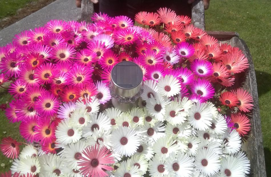 These Livingstone daisies planted in an old wheelbarrow provide a real splash of colour for...