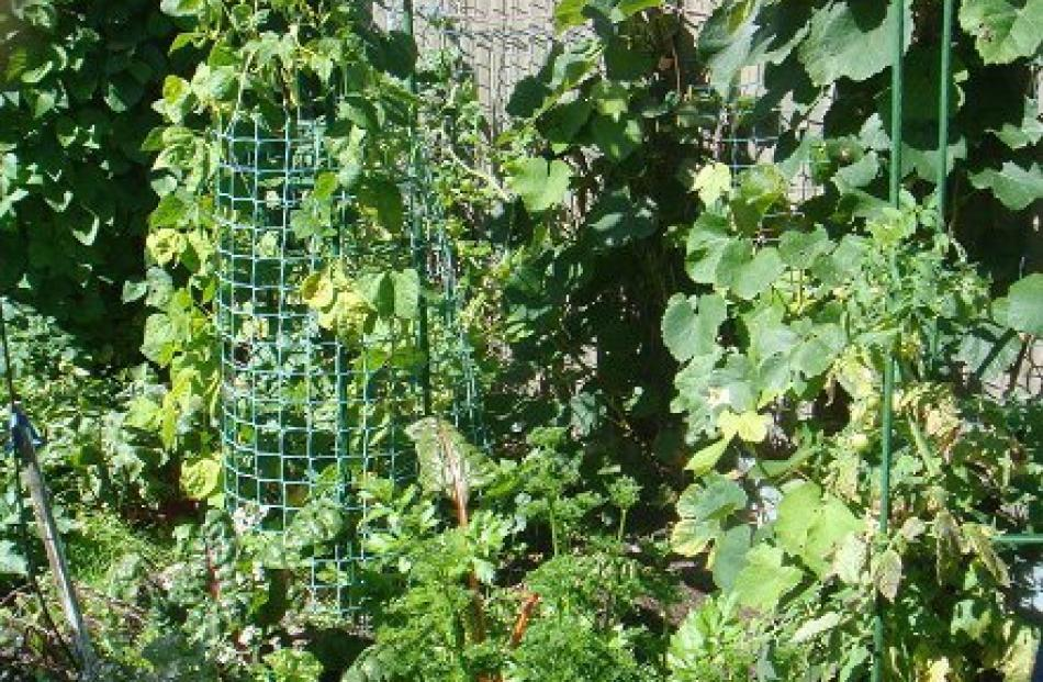 Ralph Austin, of South Dunedin, says his vege plot is only 3.5m x 1.3m, but you can grow a lot in...