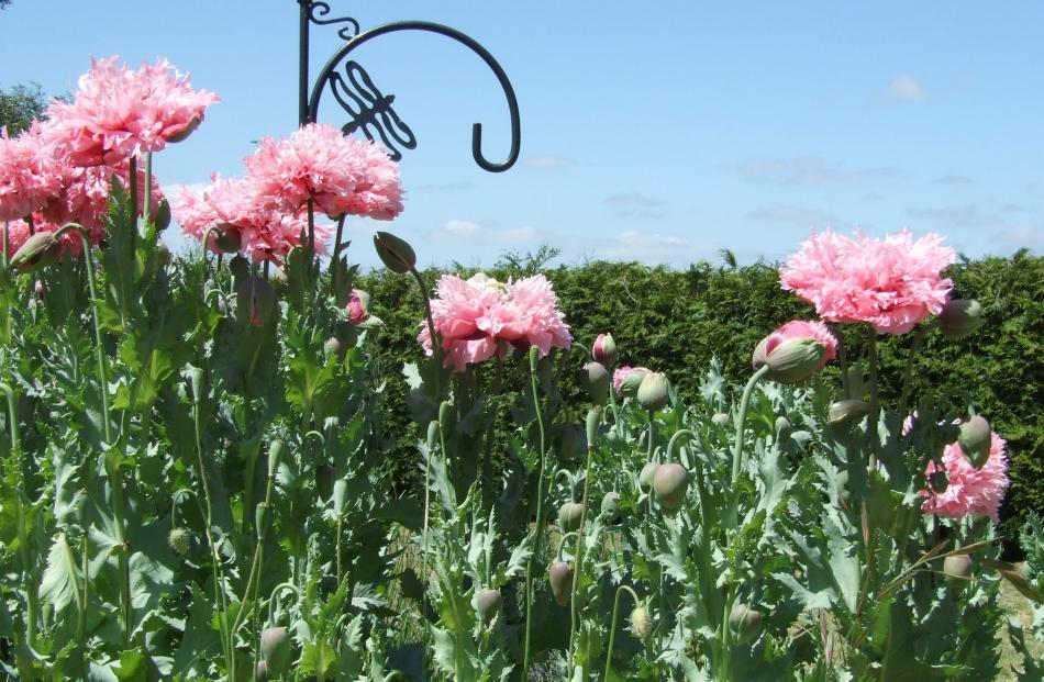 These poppies were a standout at Teresa Wasilewska's ``wild child'' garden at her North Otago...