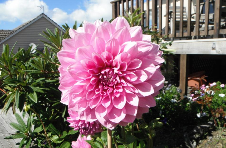 Peggy Jamison, of Wakari, says this dahlia is 28cm across — ''but they can grow larger""