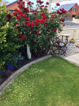 Jenny Campbell, of Grasmere, Invercargill, has the rose ''Lavender Lassie'' growing above her front fence through the greenery of a banksia rose that has finished flowering. ''It has been a challenging growing season in Invercargill with a lot of wind but