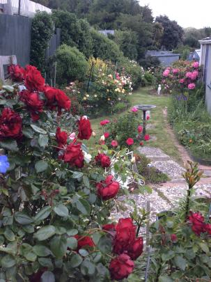 The old favourite climbing rose ``Dublin Bay'' features in part of Shirley Gough's colourful...