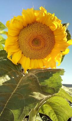 One of Nancy Lawson's sunflowers, which have grown to almost 3m in height this year, in her...