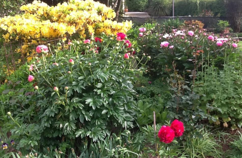A small selection of peonies in Jean Young and Bruce McDowell's garden at East Taieri