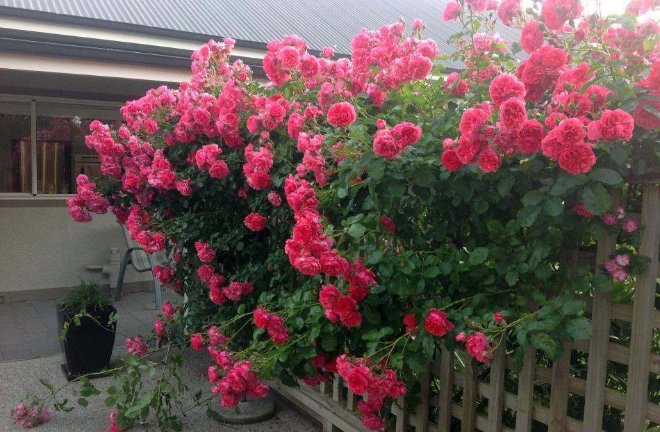 Kerrie Hodgson says this stunning climbing rose (she doesn't know its name) has been putting on...