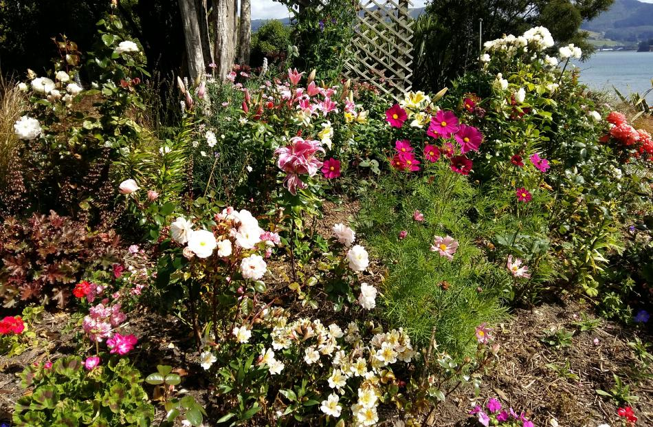 Lovely showing in Lois Paterson's Broad Bay garden recently: ``Having loved gardening all my life...