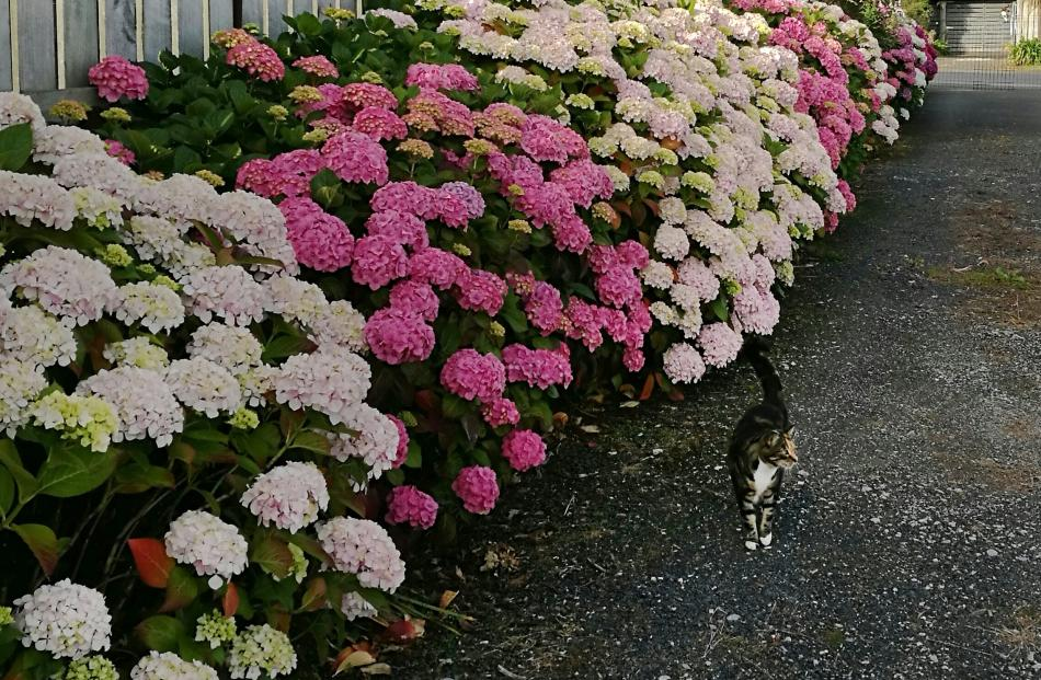 Hydrangeas are a dominant feature of Lyn Carter's driveway on her Karitane property.