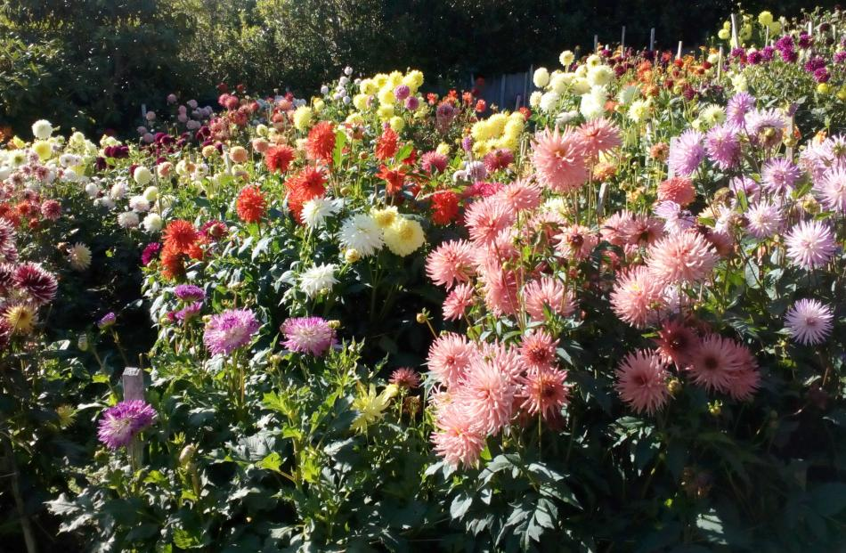 A selection of some of of the 300 dahlias grown by Mark Penty in Fairfield - photo taken in...