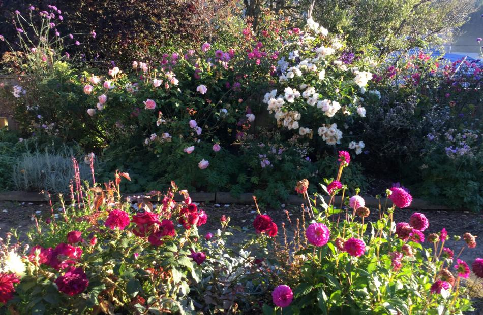 Midge Ruka's ``relatively new'' garden in Green Island features Heritage and David Austin roses,...