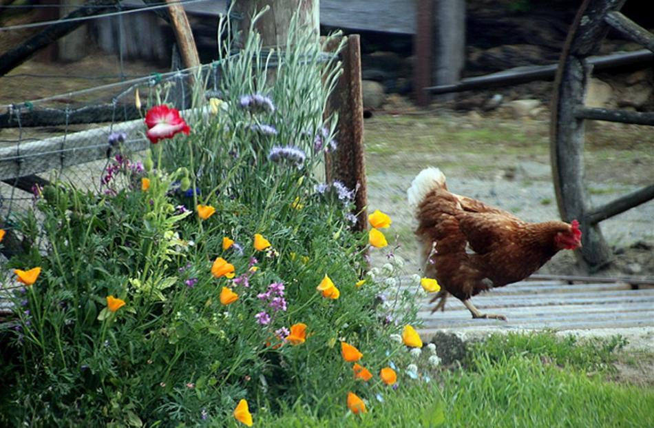 One of Lorraine Miller's chooks (dubbed Lady Gaga) stepped into shot just as Lorraine was taking...