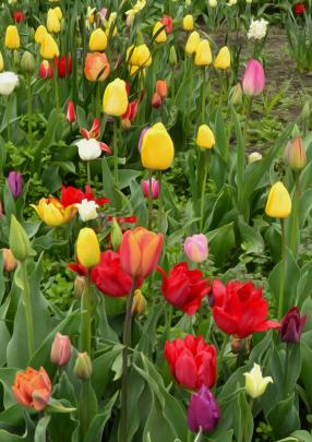 These tulips made a spectacular showing in Tracey Clare's garden in Palmerston last October with ''quite a few locals'' stopping to have a look. Photos supplied.
