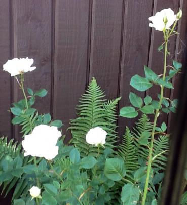 Jocelyn Parkes, of Maori Hill, inherited two ``Margaret Merril'' roses from her neighbour and...