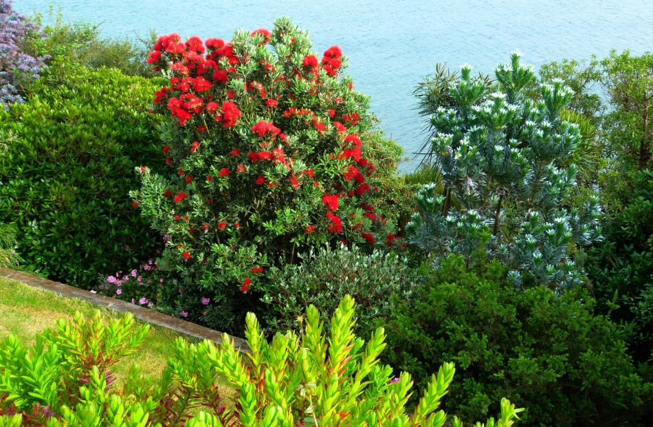 The view from Stella Cullington's Company Bay home overlooking the harbour provided a wonderful contrast in colours and textures on February 7 this year with the red of the pohutukawa in the centre, a purple wattle to the left and the pikes of a lancewood