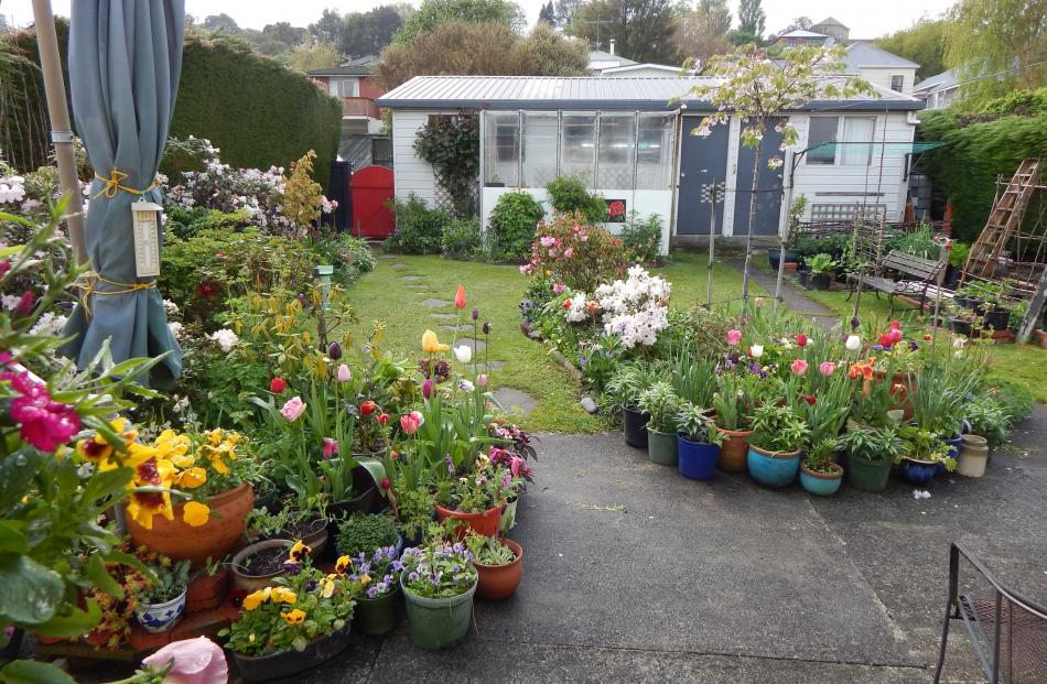 A springtime view of Ross Marshall-Seeley's garden in Kaikorai - ``tulips and rhododendrons, and...
