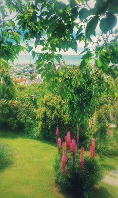 Tim Fruean's lupins in his Oamaru garden.