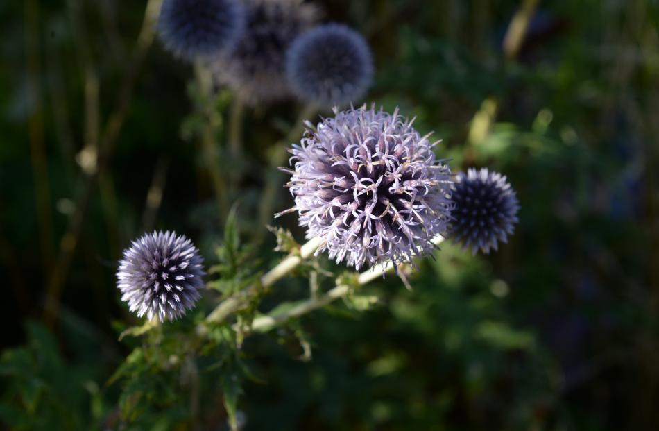 A globe thistle to attract the bees.