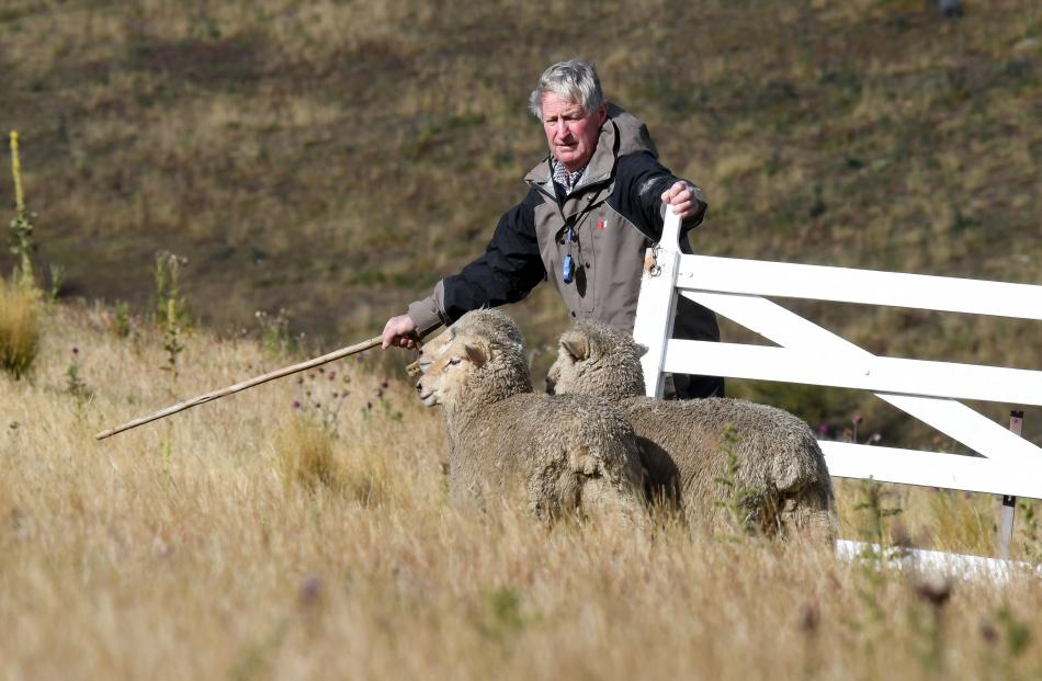 Eric Stringer, of Kyeburn, about to pen his sheep.