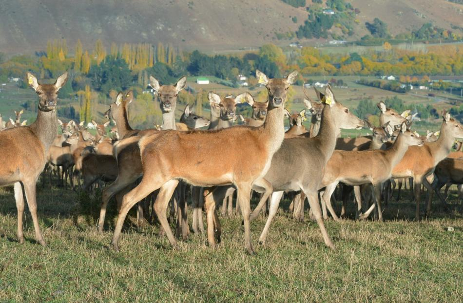 The number of deer farmers has declined but most of those still involved are expanding. Photo by Stephen Jaquiery.