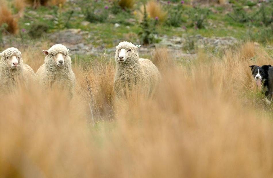 Hundreds of dogs will converge on Warepa in May for the South Island sheep dog trial championships. Photos from ODT files.