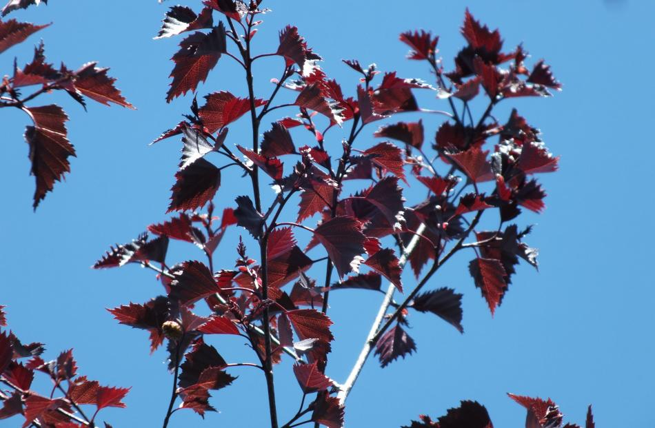 Black Prince Is A Silver Birch Betula Pendula Cultivar With Deep Purple