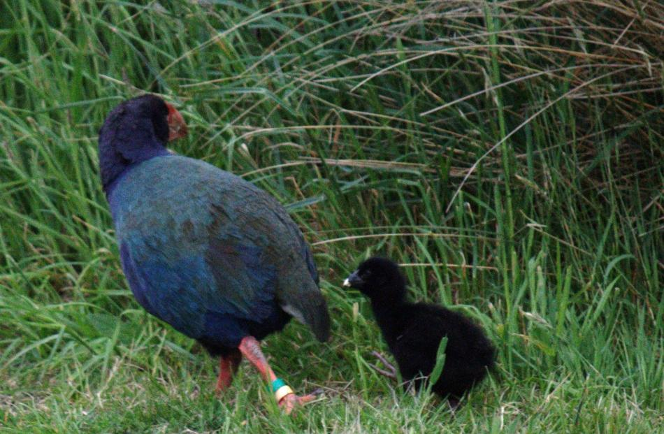 Wheko, one of this season's chicks, following his dad Quammen.