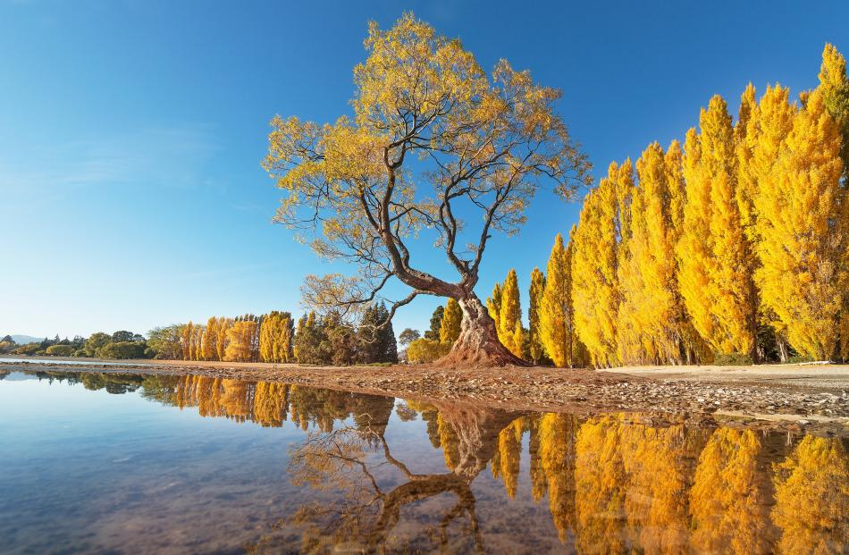 awesome autumn\u0027 photo winner otago daily times online newsrunner up an interesting view of \u0027\u0027that tree\u0027\u0027 in wanaka