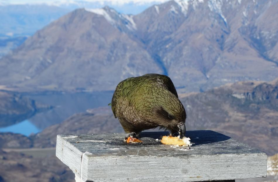 A kea snacks on tidbits at the Remarkables ski resort. Photos: ODT files.