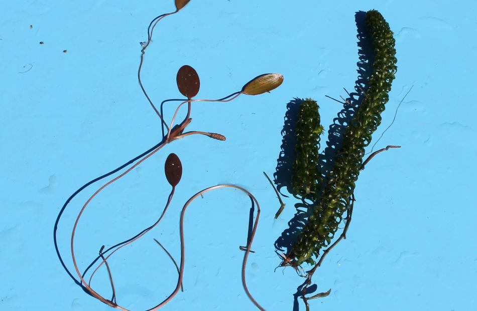 Loathsome lagarosiphon (right) is no match for regenerating beds of potamogeton (left).