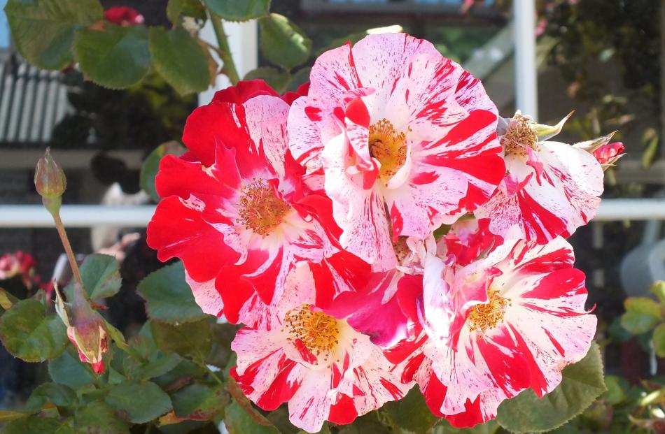 Climbing rose Fourth of July commemorates Rod Dyson's father, Al, who died on July 4, 2002.