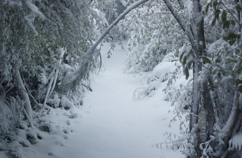 Deep powder snow has plastered the Leith Saddle track to Swampy Spur. Tree branches laden with...