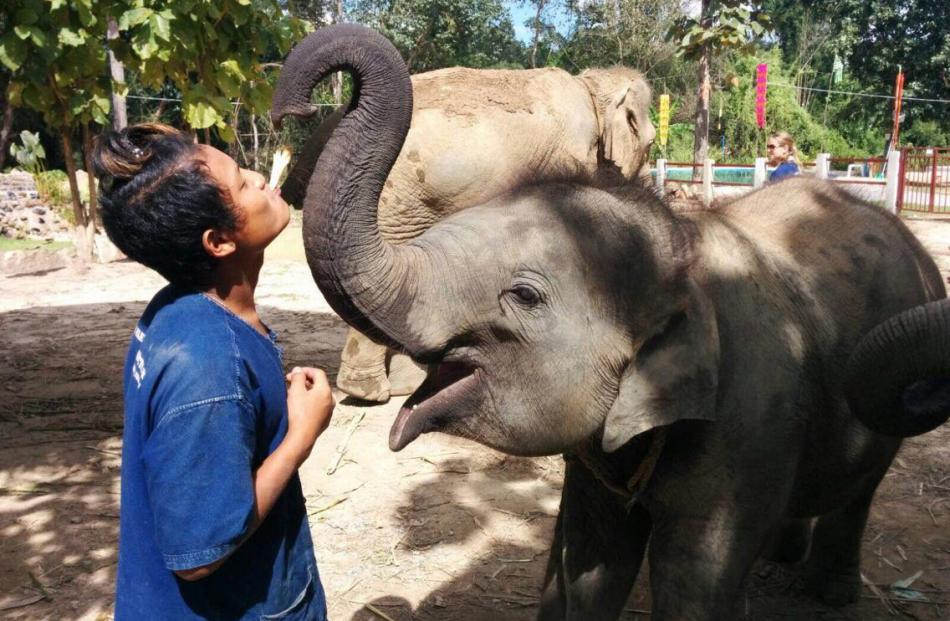A young mahout (elephant keeper) feeds out sugarcane at the Happy Elephant Home, one of the...